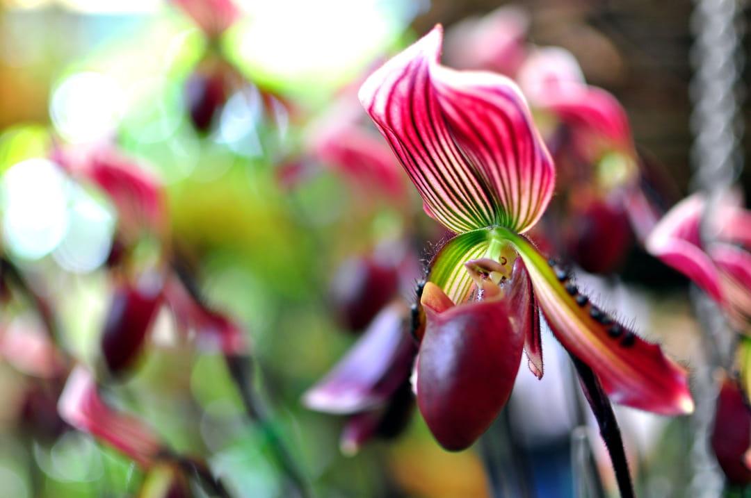 10 fleurs pour un jardin rouge - Orchidee sabot de venus ...