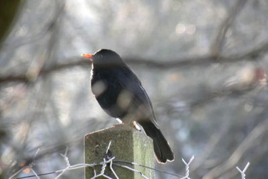 Les oiseaux qui chantent la nuit for Liste oiseaux des jardins