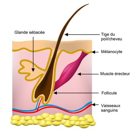 schéma poil glande sébacée
