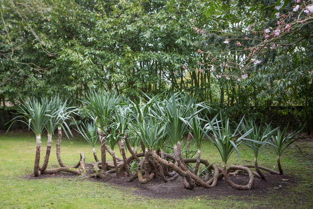 Prolifique yucca