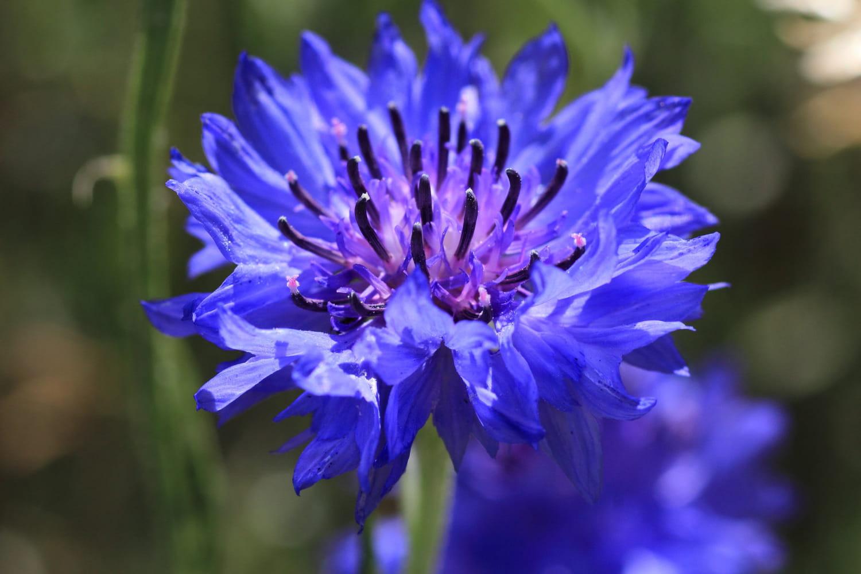 Bleuet: bienfaits santé, conjonctivite, acné, utilisations