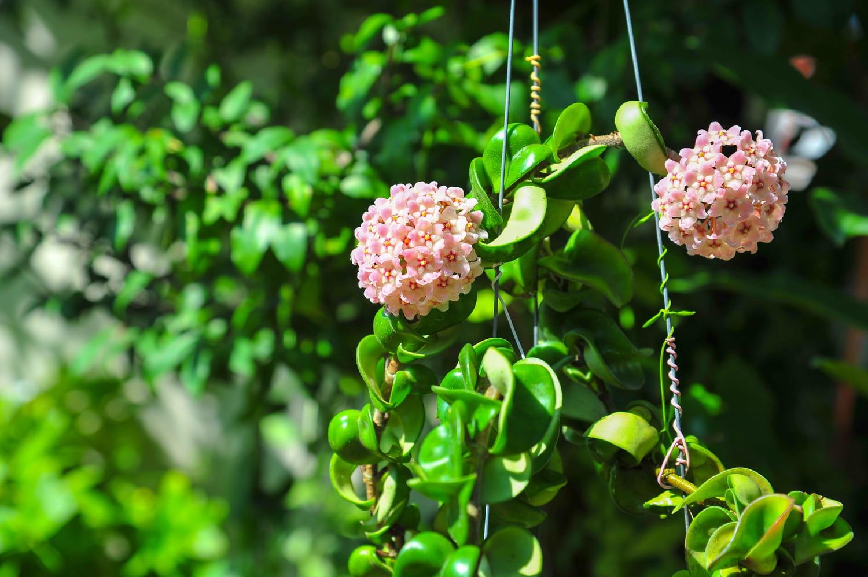 Hoya (Fleur de porcelaine)