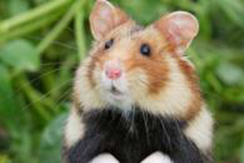 Grand hamster d'Alsace: la France rappelée à l'ordre!