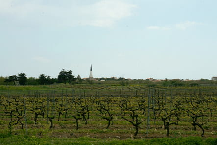 Ré, terre de vignes