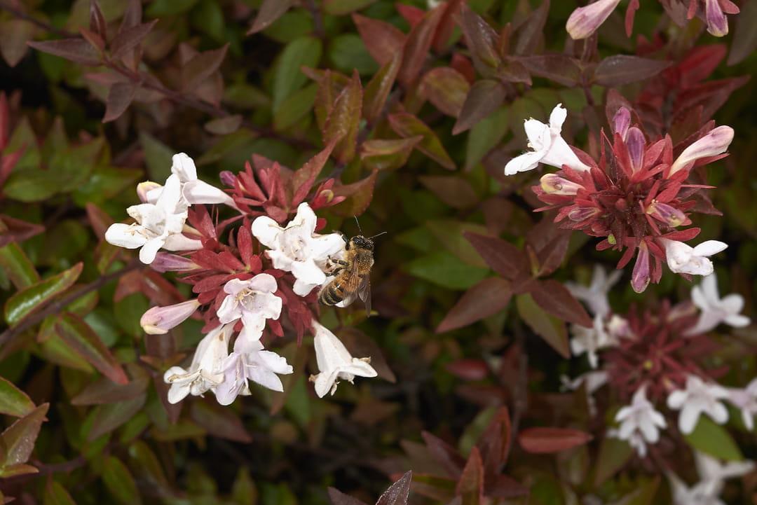 fleurs-d-abelia