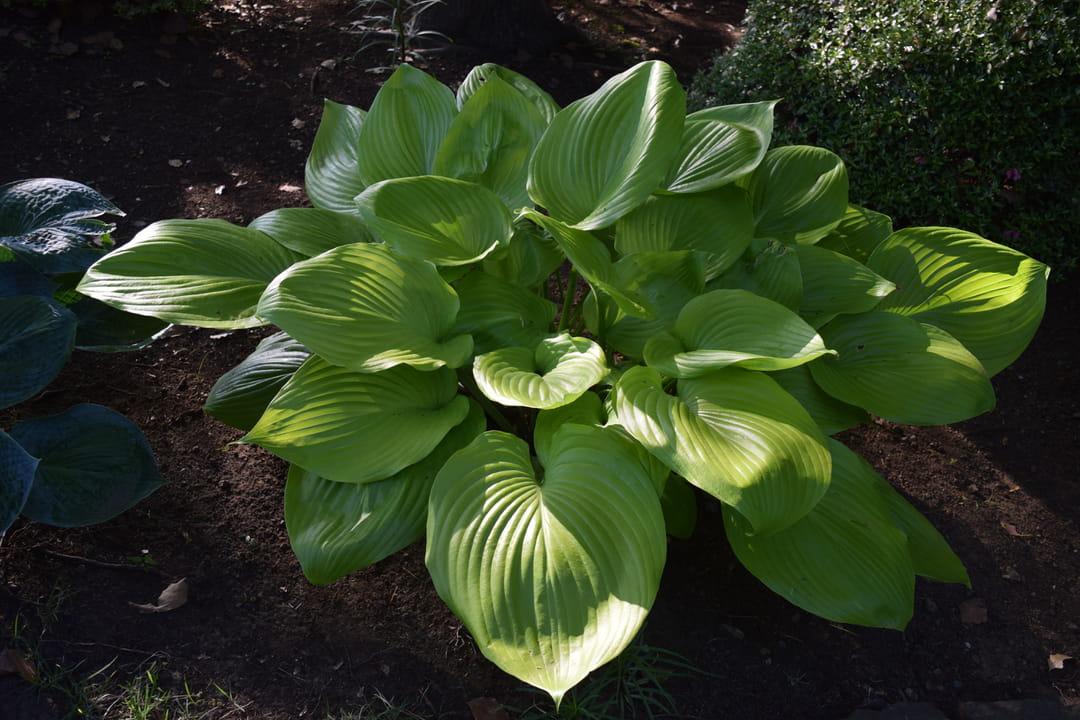 plante-d-ombre-hostas