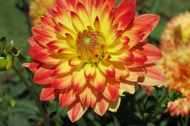 Dahlia jaune-orangé