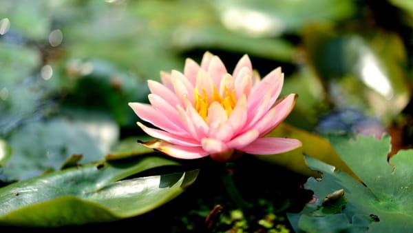 lotus-nelumbo-nucifera