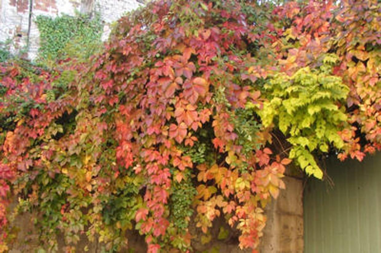 Comment Planter Une Vigne Grimpante vigne vierge : plantation, entretien et taille de cette