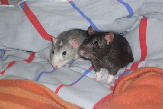 Petits noms pour petits rats