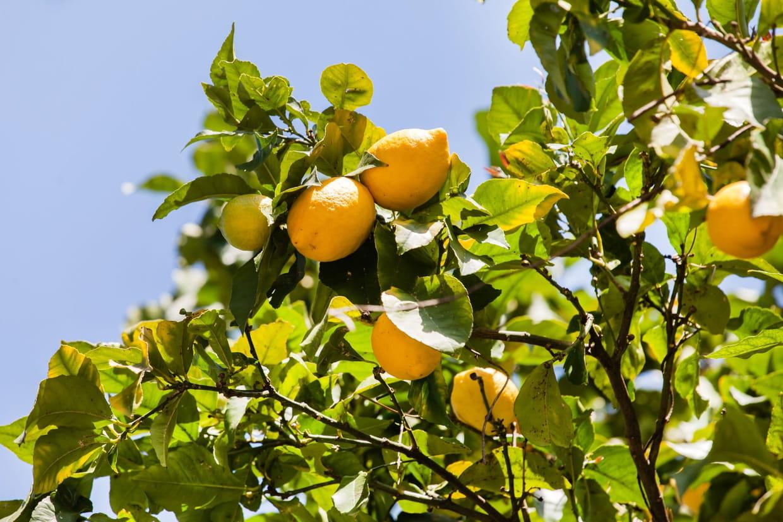 Comment Cultiver Un Citronnier En Pot citronnier : planter, entretenir, arroser et tailler