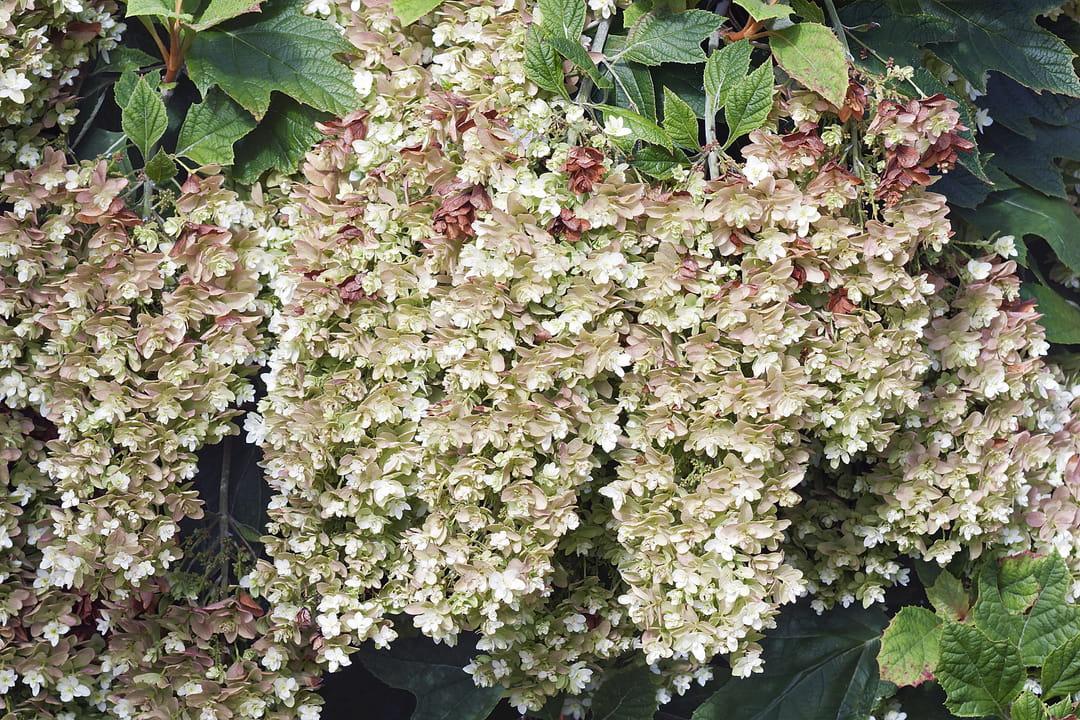 hydrangea-quercifolia-snowflake