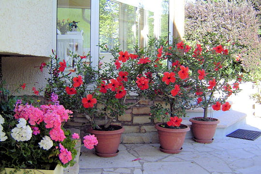Plantes en pots - Hibiscus exterieur en pot ...