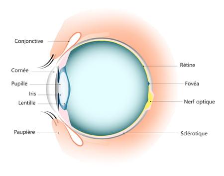 anatome-oeil-schema