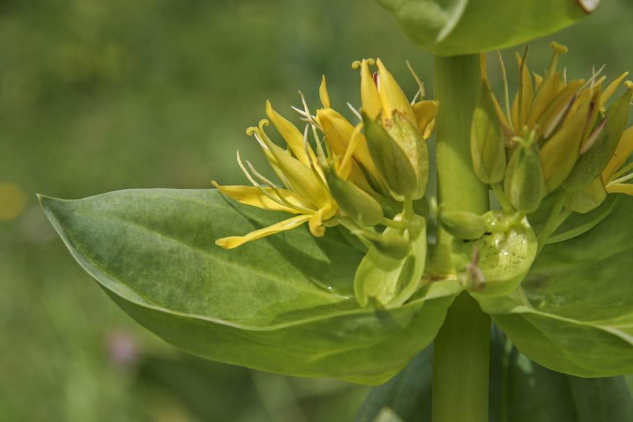 Gentiane (jaune): plante médicinale ou toxique?