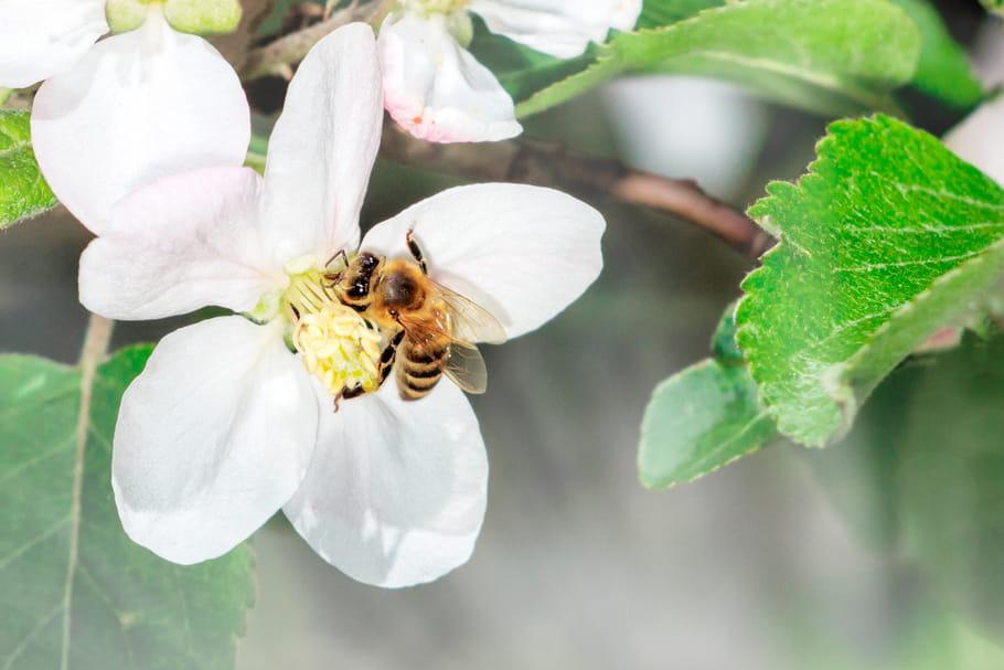 Plante mellifère: lesquelles pour attirer les abeilles? [LISTE]