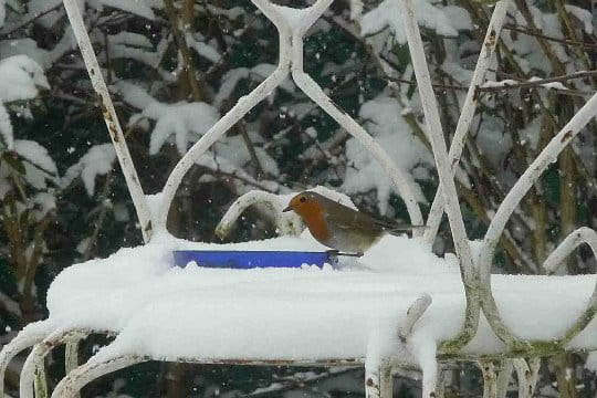Un rouge-gorge en plein hiver