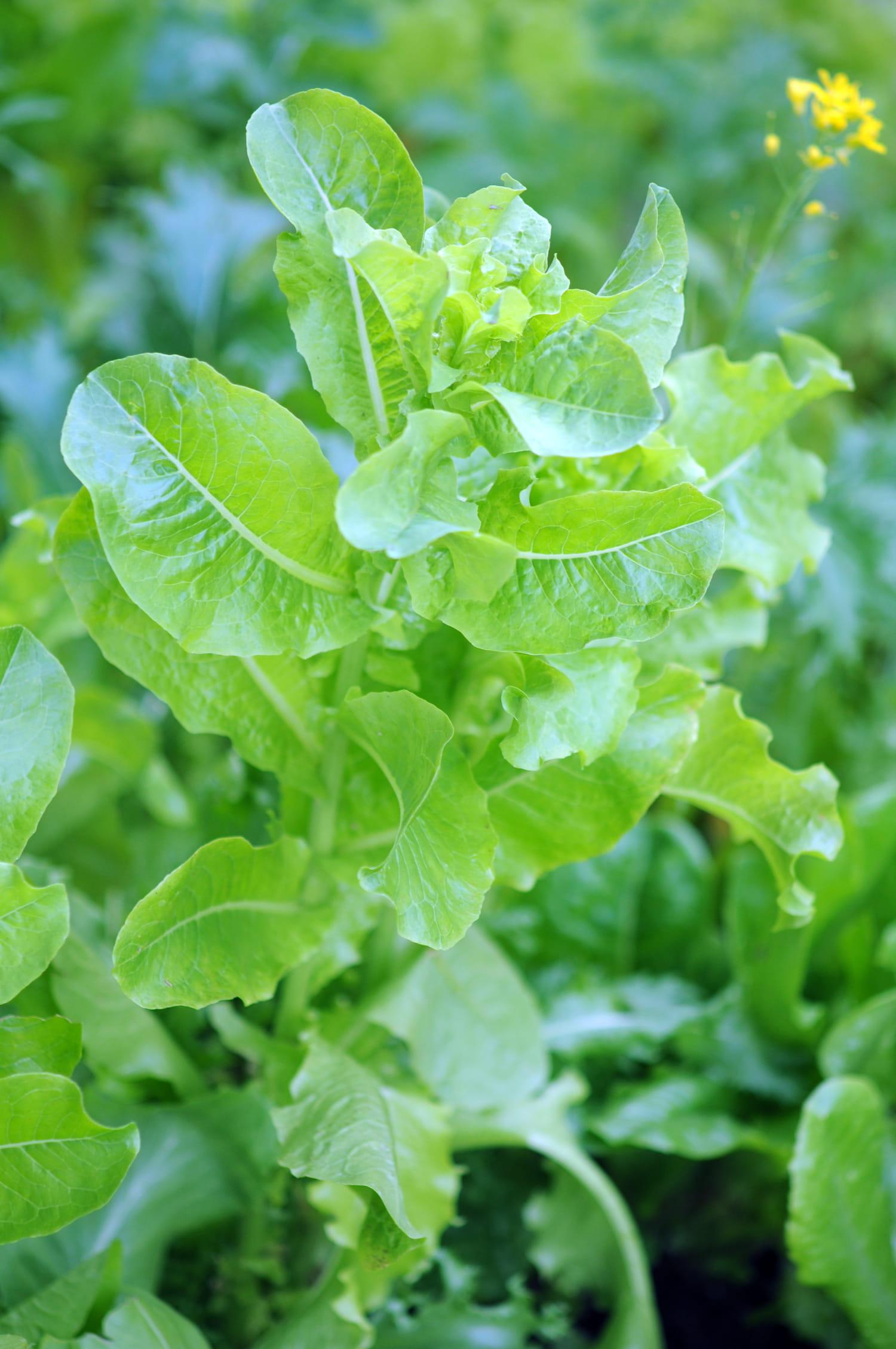 Montée en graines: pourquoi et quelles plantes subissent la montaison?