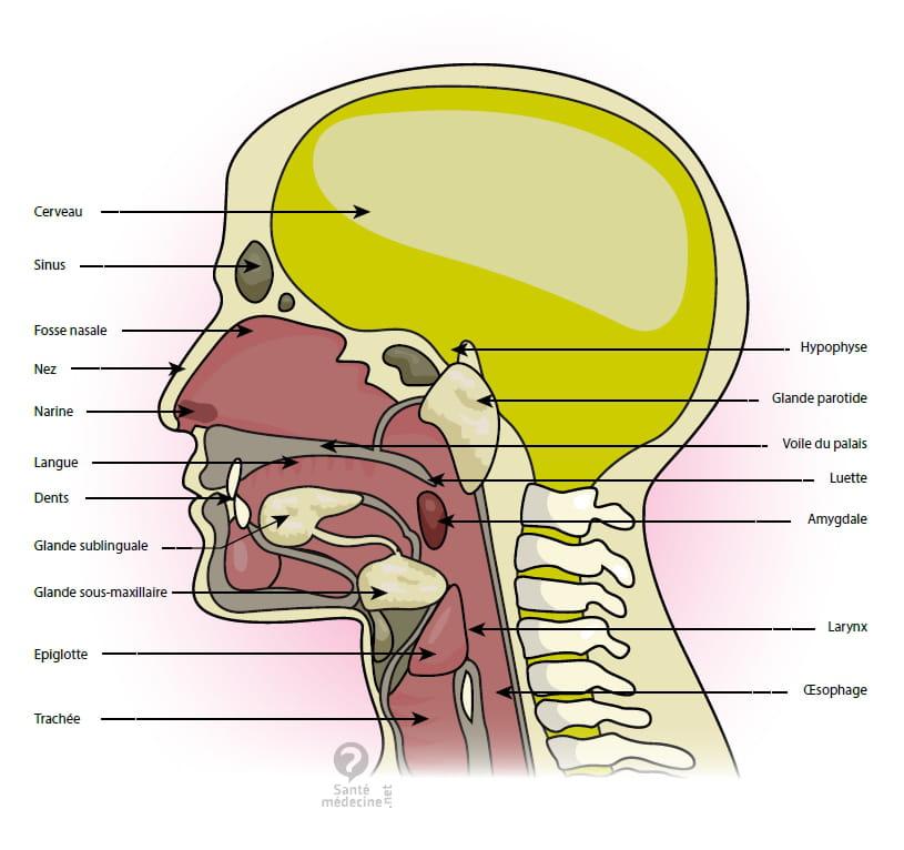 Langue (anatomie) - Définition - Santé-Médecine