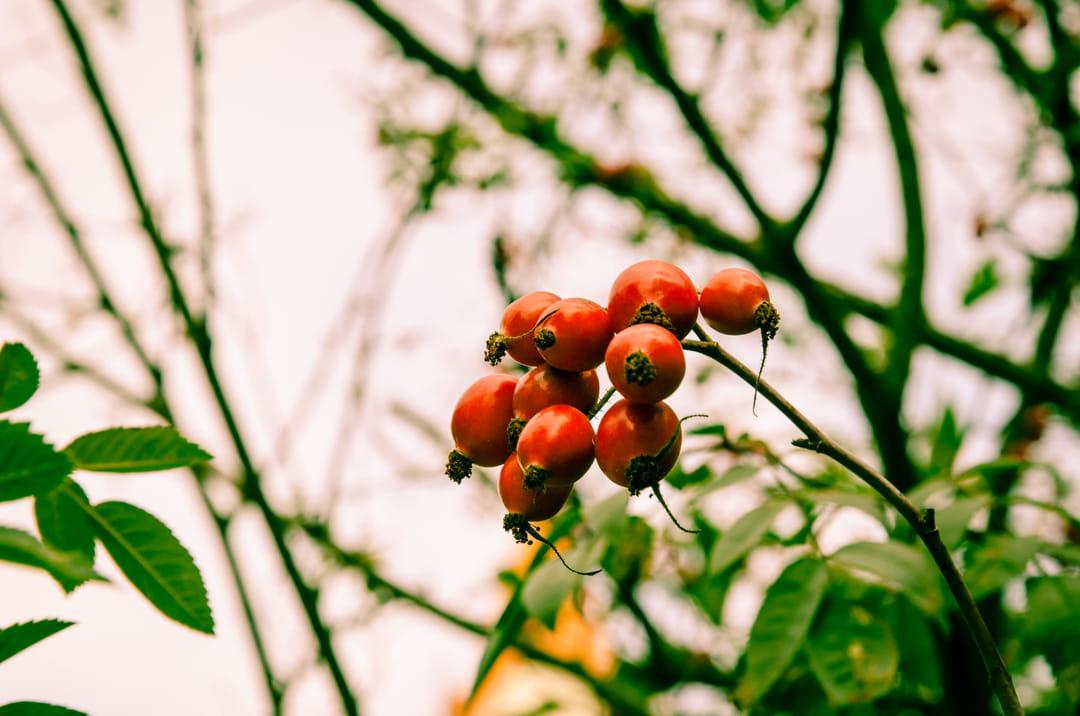 cynorrhodons-fruits-eglantier