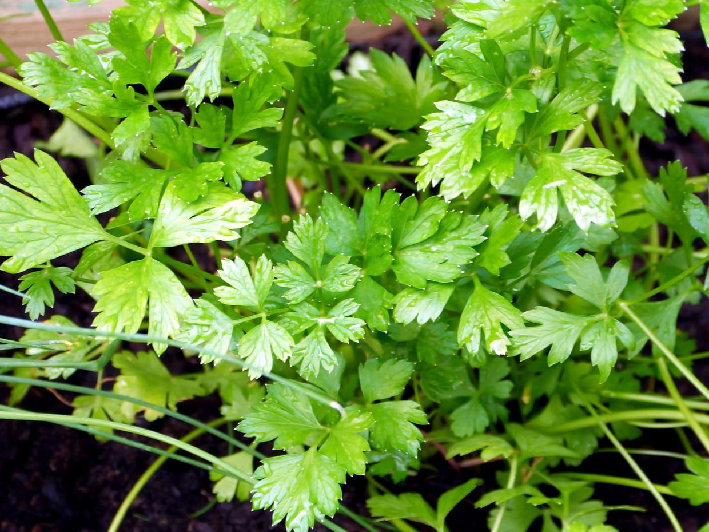 Comment Planter Les Graines De Persil persil : où, quand et comment semer et faire pousser du persil ?