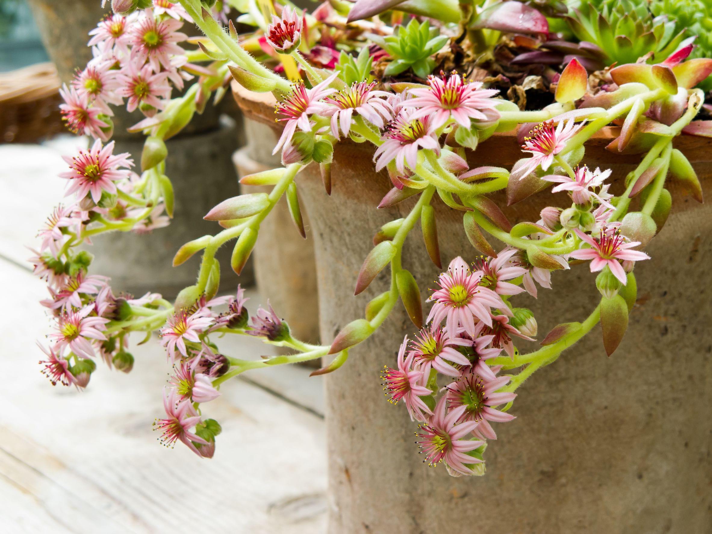 Orpin en fleurs © Ann Louise B Holmstrom Hagevi 123RF 46bcb97d7c6