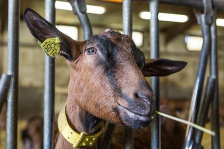 Une troupeau de 106 chèvres