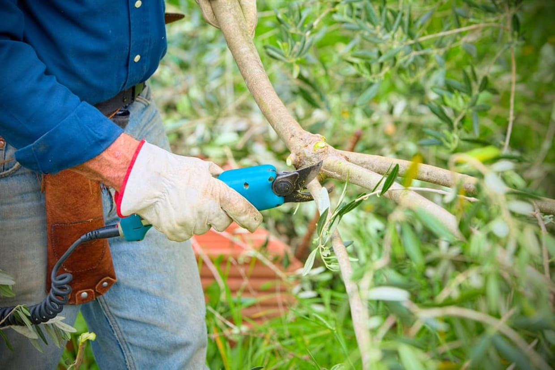 Taille D Un Olivier Comment Faire quand et comment tailler un olivier ?