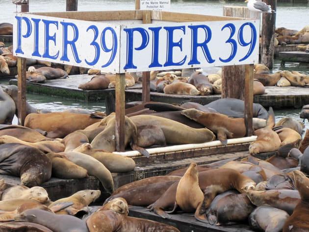 Les lions de mer de Pier 39