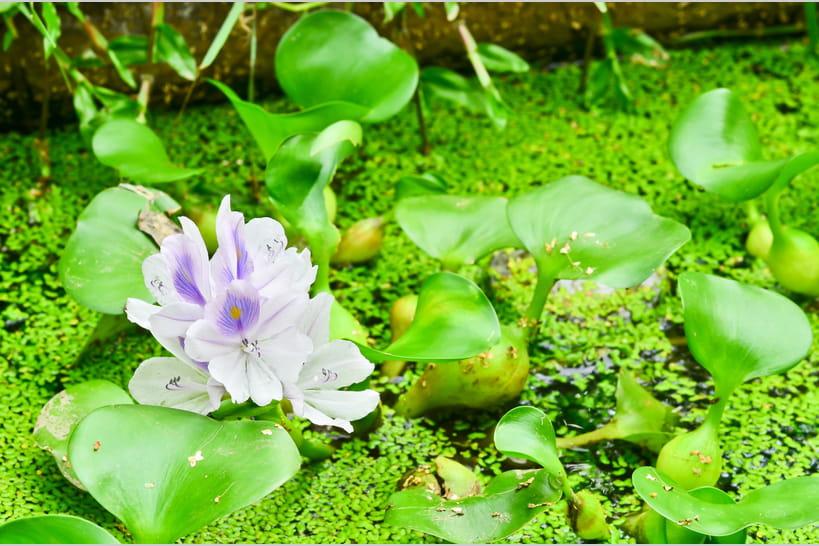 Plante aquatique: mode d'emploi pour végétaliser un bassin
