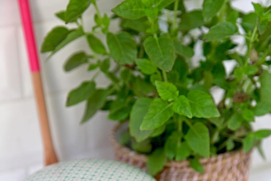 cultiver de la menthe plantation entretien r colte et. Black Bedroom Furniture Sets. Home Design Ideas