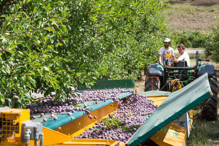 30 tonnes de prunes récoltées par jour
