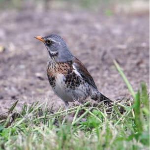 la grive litorne se nourrit d'insectes, de vers, de baies et de fruits.