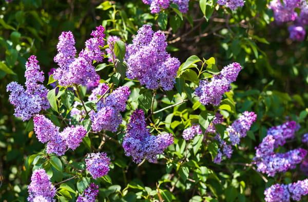 15 fleurs parfum es pour le jardin - Piscine des tourelles porte des lilas ...
