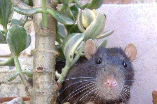Rat domestique bleu