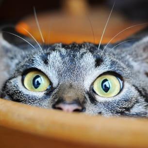 un chat européen jouant à cache-cache.