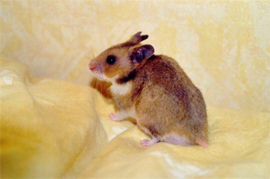 Un hamster en pleine séance photo