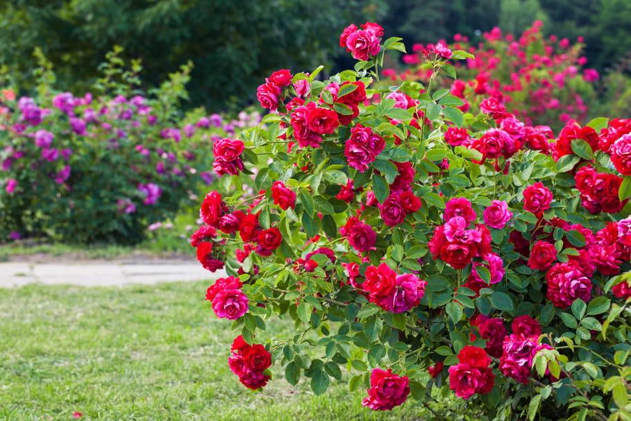 Rosier buisson : planter, entretenir et tailler
