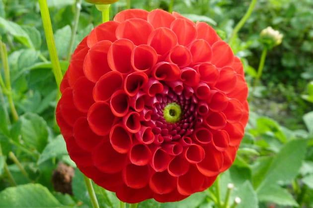 Dahlia rouge coquelicot