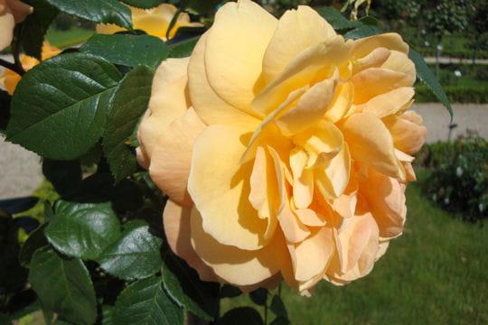 Bernstein-Rose ®