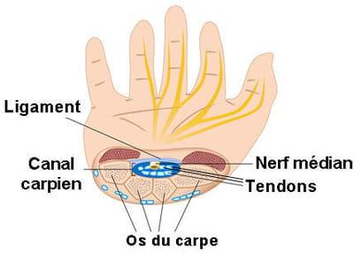 anatomie du canal carpien.