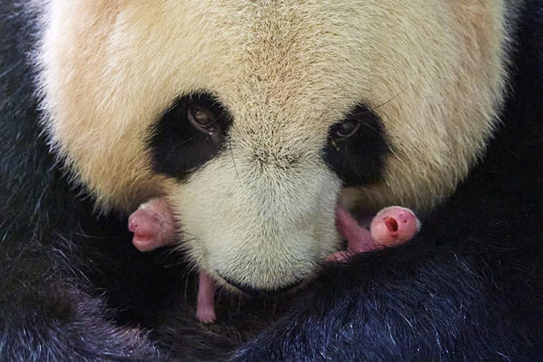 Zoo de Beauval: Fleur de coton et Petite neige, les bébés pandas de Huan Huan
