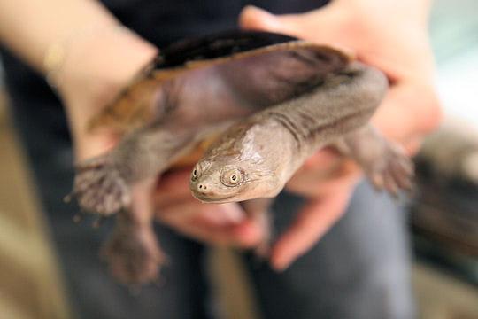 La tortue au cou de serpent