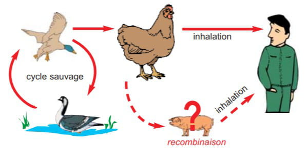 transmission grippe aviaire