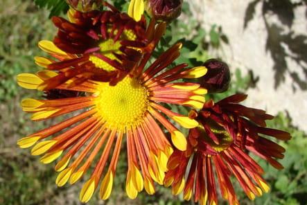 Marguerite jaune-orangé