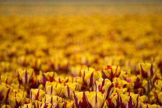 Tulipe Helmar