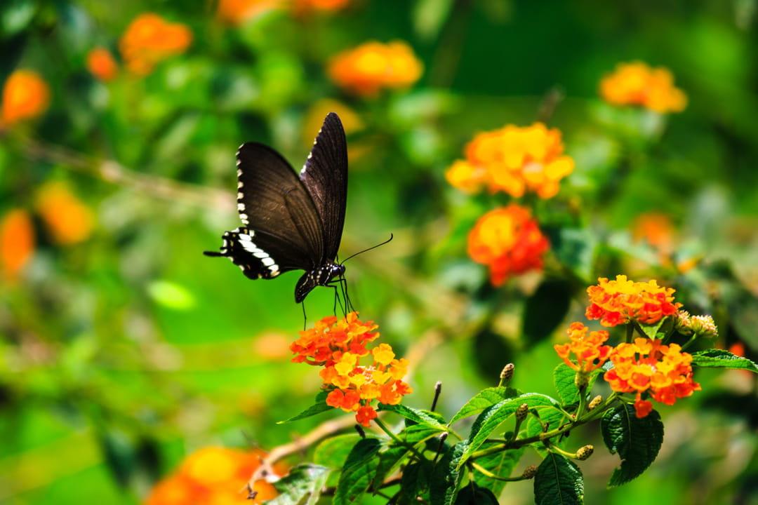 biodiversite-jardin-papillon