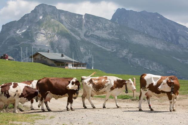 Du lait issu de trois races de vaches seulement