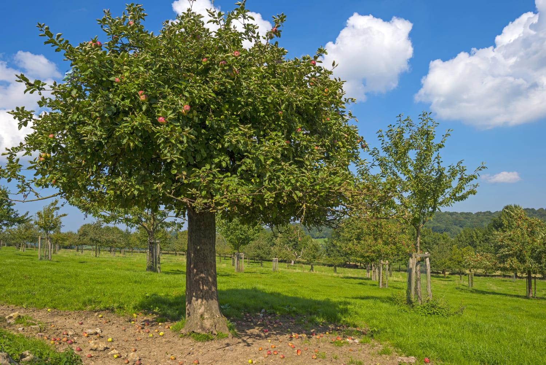 Arbres fruitiers - fiches pratiques pour planter un arbre fruitier