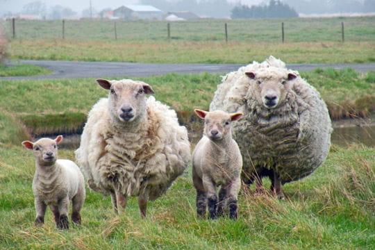 La famille Mouton
